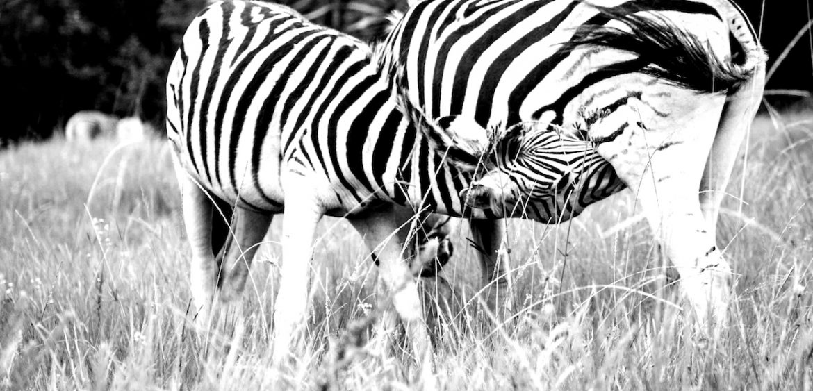 Zebra at Karkloof Nature Reserve